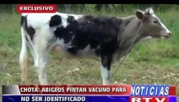 Robó una vaca y la pintó para que no la reconocieran