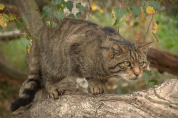 ¿Por qué quieren matar a 2 millones de gatos salvajes en Australia?