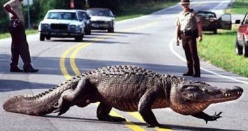 Pasó el huracán Matthew y dejó un enorme caimán