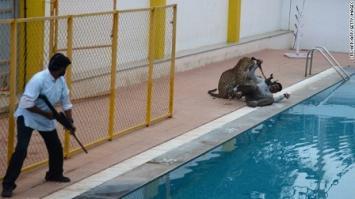 Trágico operativo para capturar un leopardo en India: seis heridos