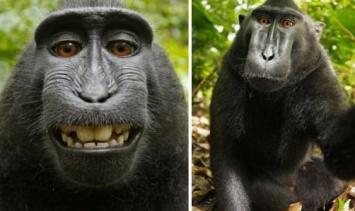 Fotógrafo pierde los derechos sobre su obra porque es la selfie de un mono