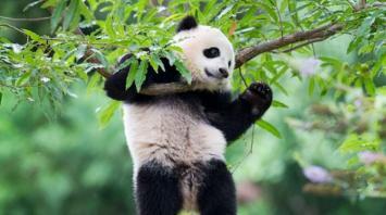 Trasladan a un panda de Estados Unidos a China