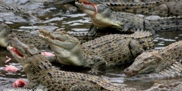 La peor manera de suicidarse: mujer se arrojó a una fosa con mil cocodrilos