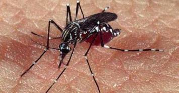 Un hongo podría frenar el dengue y chincunguña