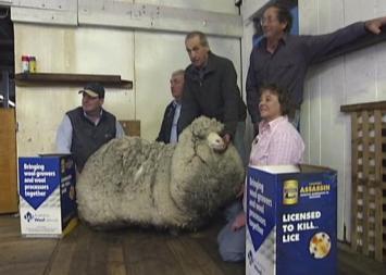 Oveja australiana deja 23,5 kilos de lana