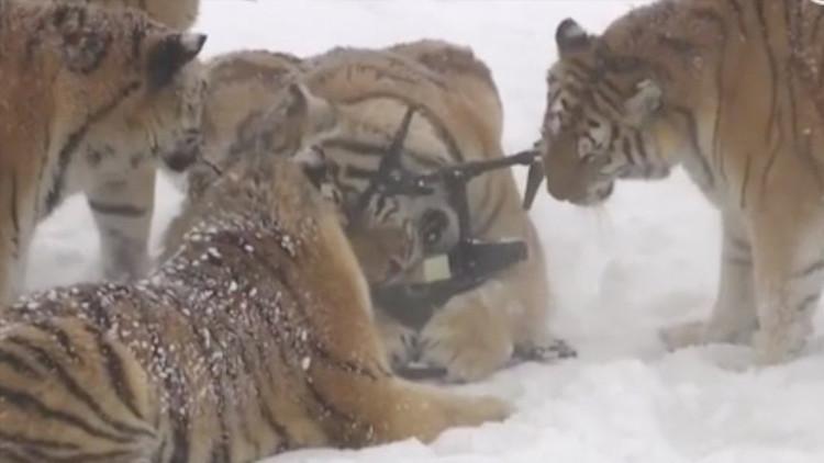 La triste verdad que podría ocultarse detrás del video viral de los tigres que persiguen a un dron