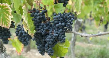 Prueban beneficios nutricionales del orujo de la uva Malbec
