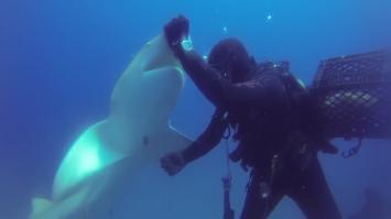 Un tiburón 'pide auxilio' a un buzo por un azuelo incrustado (Video)