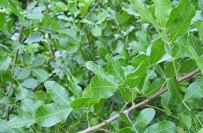 Desarrollan medicamento natural contra la diabetes a partir de un árbol cubano